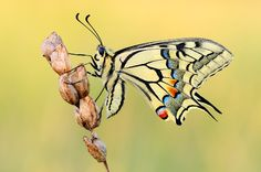 swallowtail by Martin Amm on 500px