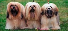 lhasa apso puppies for sale . lhasa apso puppies names . lhasa apso puppies so cute . Baby Puppies, Puppies For Sale, Dogs And Puppies, Boxer Puppies, Fluffy Puppies, Boxer Mix, The Animals, Baby Animals, Bullmastiff