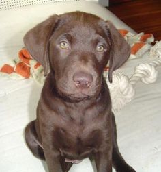 This guy's name is Bosco...love the chocolate names on chocolate labs...my buddy Mike W will like this one!