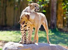 Kasi, the cheetah cuddle best friend Mtani, the Labrador in Tampa, Florida, U.S. on March 26, 2012. - Barcroft Media via Getty Images/Getty Images