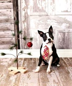Christmas photography Boston Terrier #Christmas dog wearing a tie Toni Kami Joyeux Noël Sweet Favorite Photo.htm