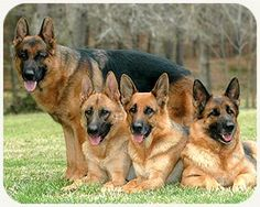History of the German Shepherd Dog — The German Shepherd Dog was widely sought after during World War II. They were employed by Allied and Axis forces as mine detectors, sentinels, guard work, messenger, and other services. In America, Dogs for . . . (read more) http://blog.21stcenturypet.com/2013/04/history-of-the-german-shepherd-dog/?utm_content=buffer0e03d&utm_medium=social&utm_source=pinterest.com&utm_campaign=buffer #21stcenturypet #germanshepherd