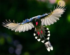 ✯ Taiwan Blue Magpie, Taiwanese national bird, can only be found in Taiwan.