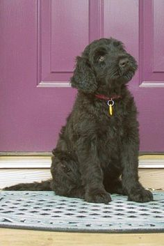 Dog Training Tips that actually work! Cute Funny Animals, Cute Dogs, Awesome Dogs, Unusual Dog Breeds, Black Russian Terrier, Terrier Dog Breeds, Dogs And Puppies, Doggies, Dog Training Tips