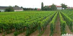 Europe Centrale, Carpe, Guide, Tour, Vineyard, Outdoor, Old Homes, Grape Vines, Wine Cellar