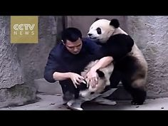 ▶ Cute Alert!Clingy pandas don't want to take their medicine - YouTube
