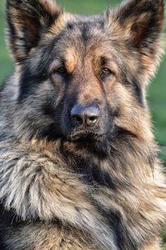 Lycan Shepherd Puppies : lycan, shepherd, puppies, White, Shepherd, Ideas, Shepherd,, German, Dogs,