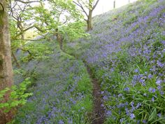 Bluebell on the steep wooded slopes of Hardcastle Crags, with newly unfurled oak leaves, symbol of the National Trust who own this beautiful estate near Hebden Bridge Hebden Bridge, Oak Leaves, Yorkshire Dales, Countryside, Cottage, National Trust, Walks, Holiday, Plants