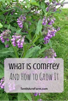 Comfrey as mulch. Comfrey is a perennial herb with beautiful, bell-shaped flowers and large leaves. Here is why comfrey is making its way into every permaculture garden and how you can take advantage of it. Healing Herbs, Medicinal Plants, Types Of Herbs, Organic Gardening Tips, Vegetable Gardening, Flower Gardening, Veggie Gardens, Flowers Garden, Gardening Hacks