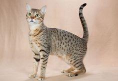 Descubre la raza de gato mau egipcio