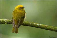 Yellow-headed Manakin(Xenopipo flavicapilla)