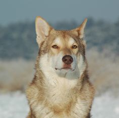 saarloos wolf dog