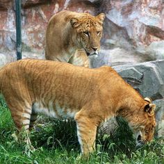 A liger is a hybrid cross between a male lion and a tigres. What are ligers best known for? Large size! The liger is the largest known cat in the world, reaching over 400 kg.  The huge size is not a case for  tiglon (a cross between a male tiger and a lioness). In contrast, pumapards (hybrids between pumas and leopards) tend to exhibit dwarfism.