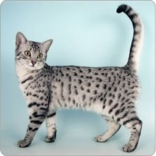 While fanciers might at first be attracted to the Egyptian Mau's beautiful spotted coat, most become enthusiasts because of the breed's temperament and personality. Maus, like their ancestors that were invited along on the duck hunts of their Egyptian com Ocicat, Pretty Cats, Beautiful Cats, Cute Cats, Singapura Cat, Egyptian Mau, Spotted Cat, Warrior Cats, Domestic Cat