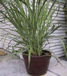 Lemon Grass 50 Seeds - Cymbopogon - Herb by Hirts: Seed; Herb. $1.05. Lemon grass (Cymbopogon citratus). 50 Seeds. Perennial. Native to India. HERBS: Treat yourself to fresh herbs right from your garden! The difference when home grown is impressive! All are excellent for adding distinctive flavor to meat, and fish dishes, gravies, soups, salads and vegetables. They are fun to grow and make an attractive garden addition! Lemon grass (Cymbopogon citratus), a native...