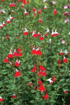 Hot Lips Salvia (Sal-vee-ah), also commonly known as sage, is an easy-care, drought-tolerant plant with fragrant foliage whose flowers are often visited by butterflies and hummingbirds.Deer and rabbit resistant too!