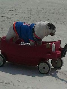 St Augustine Beach ..Bull dog with a Gator shirt !! Hahahahahaahaha