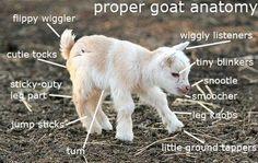 Proper goat anatomy http://ift.tt/2trN2hs