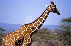 """Résultat de recherche d'images pour """"coup girafe"""""""
