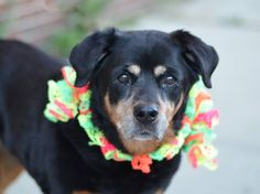 SAFE --- Brooklyn Center  STELLA - A1020567 **SAFER: AVERAGE HOME**  FEMALE, BLACK / BROWN, ROTTWEILER / LABRADOR RETR, 8 yrs STRAY - STRAY WAIT, NO HOLD Reason STRAY Intake condition GERIATRIC Intake Date 11/13/2014, From NY 11206, DueOut Date 11/16/2014, https://www.facebook.com/photo.php?fbid=906005139412366%2F