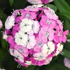 If David Copperfield had ever decided to go into plant breeding, he probably would have come up with 'Dash Magician' dianthus. The delightfully fragrant ball-like flowers of this compact plant change color as they mature, starting out bright pink, then turn rose, and finally become white. Each flower head can be three colors at once! Use this dianthus to add a magical touch to borders and containers. Name: Dianthus 'Dash Magician' Growing Conditions: full sun Size: 15-20 inches tall, 12-14 i...