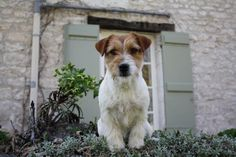 Jack Russell terrier#dogs#Jack Beauty Givenchy (Jack Beauty kennel)