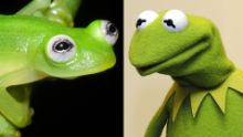 Newly discovered frog species looks like Kermit - CNN.com