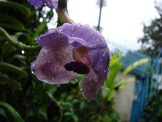 Moth Orchid Phalaenopsis Sp | Orquídea [Moth orchid] (Phalaenopsis sp) justo al finalizar la lluvia ...