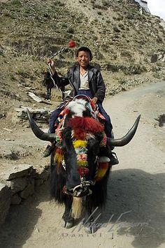 LOS YAKS DEL TIBET ||| Decorated yak.Tibet.