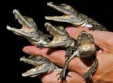 They'll bite your face off with their adorable little baby crocodile teeth.