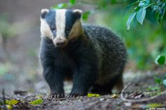 Das - I had a wonderful encounter with the Badgers yesterday evening. I was out trying my luck with the Barn Owls again but got side tracked when I saw 3 Badgers out and about.