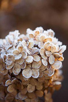 frosty hydrangeas