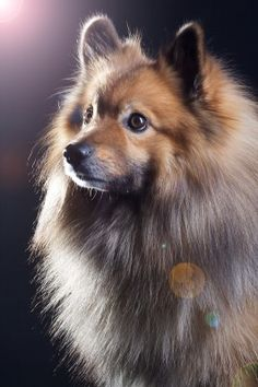 """Click visit site and Check out Best """"German Spitz"""" T-shirts. This website is excellent. Tip: You can search """"your name"""" or """"your favorite shirts"""" at search bar on the top."""
