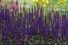 Salvia nemorosa 'CARADONNA' - Szukaj w Google