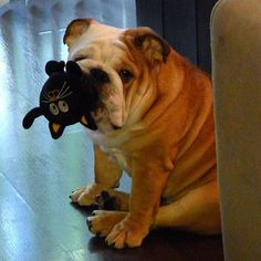 <3 Bully with his toy, adorable !