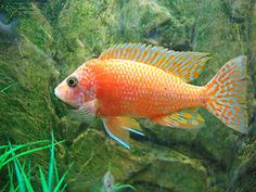 firefish cichlid fry at Aquarist Classifieds