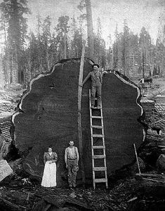 This redwood tree was cut down in Sequoia National Park in 1892 . Giant Tree, Big Tree, Old Pictures, Old Photos, Old Trees, Vintage Photographs, Historical Photos, Belle Photo, National Geographic