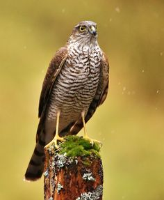 https://flic.kr/p/FH3DQH | Sparrowhawk | Female surveying her territory in the rain. Galloway 2016