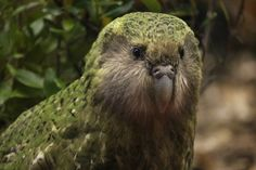Sirocco the Kakapo wings his way to Parliament | NZNews | 3 News