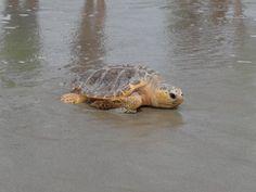 Loggerhead sea turtle...Oak Island, NC