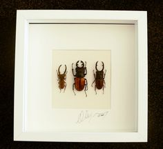 Artframe with real insects : Topquality display with trio of real mounted stagbeetles , lucanidae , FREE SHIPPING by Alanscollectibles on Etsy