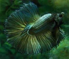 Image result for copper betta fish