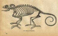 chameleon skeleton diagram - Google Search