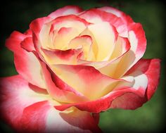 rose, taken in fullerton california,can be framed and matted on line.