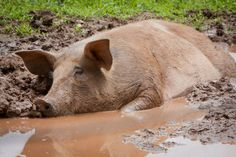 peaceful pig...We have no right to be cruel to gentle pigs, to confine them, to hurt them, to kill and eat them