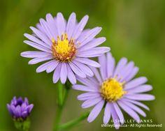 Prairie Wildflowers: Wild Purple Flowers: Smooth Asters