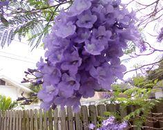 Jacaranda/Jacaranda mimosifolia | Zoom's Edible Plants.