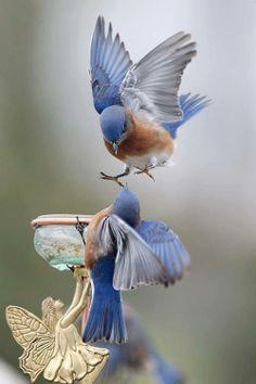 Pajaros azules
