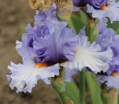 TB Iris germanica 'Bluebird of Happiness' (Black, 2011)