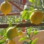 If you are looking forward to homemade lemonade and your tree is not producing, there may be a simple explanation. Get help from this article when you find yourself with no fruit on lemon trees.